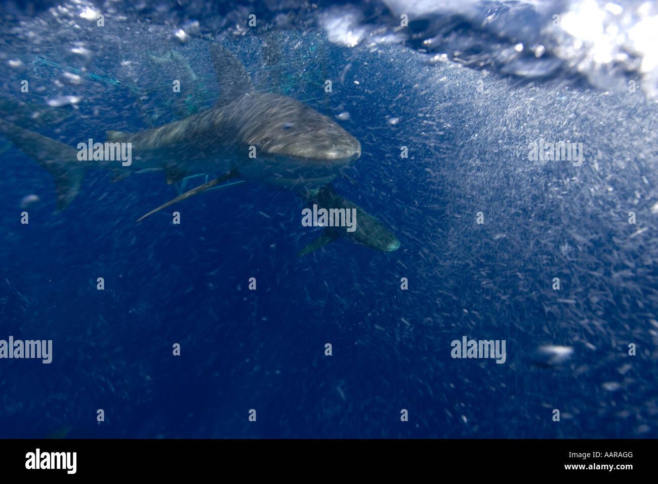 Galapagos sharks Carcharhinus galapagensis Oahu Hawaii Stock Photo