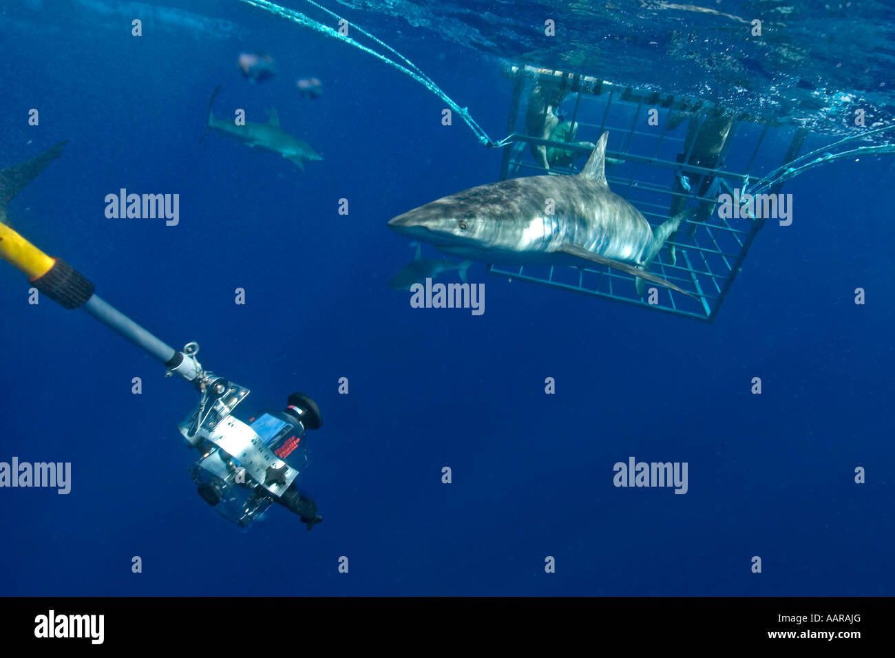 Remote underwater video camera records cage diving with Galapagos sharks Carcharhinus galapagensis North shore Oahu - Stock Image