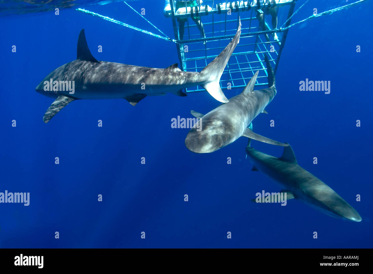 Thrill seekers experience cage diving with Galapagos sharks Carcharhinus galapagensis North shore Oahu Hawaii USA - Stock Image