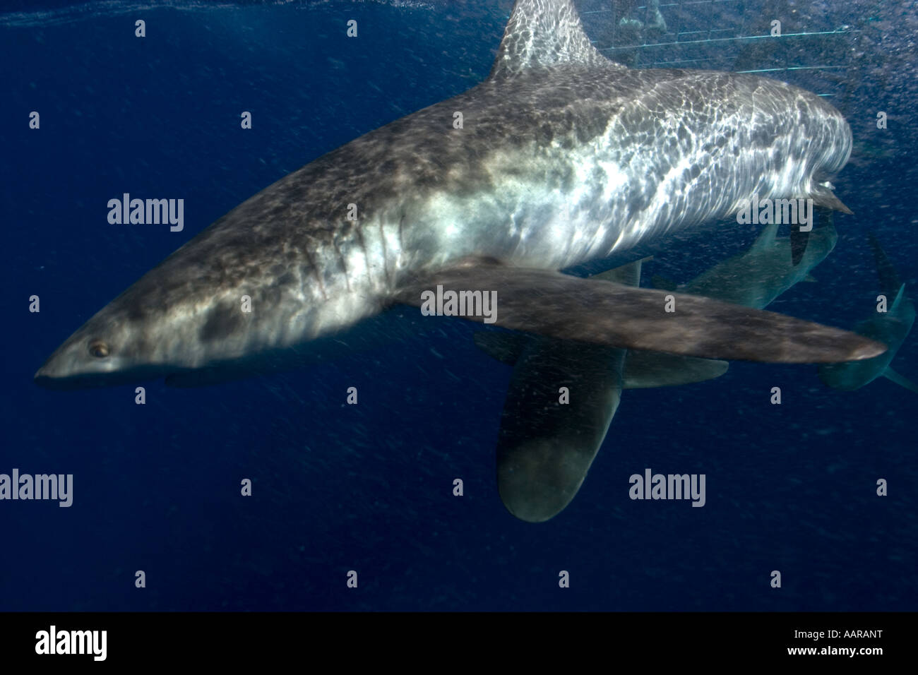 Cage diving with Galapagos sharks Carcharhinus galapagensis North shore Oahu Hawaii USA Stock Photo