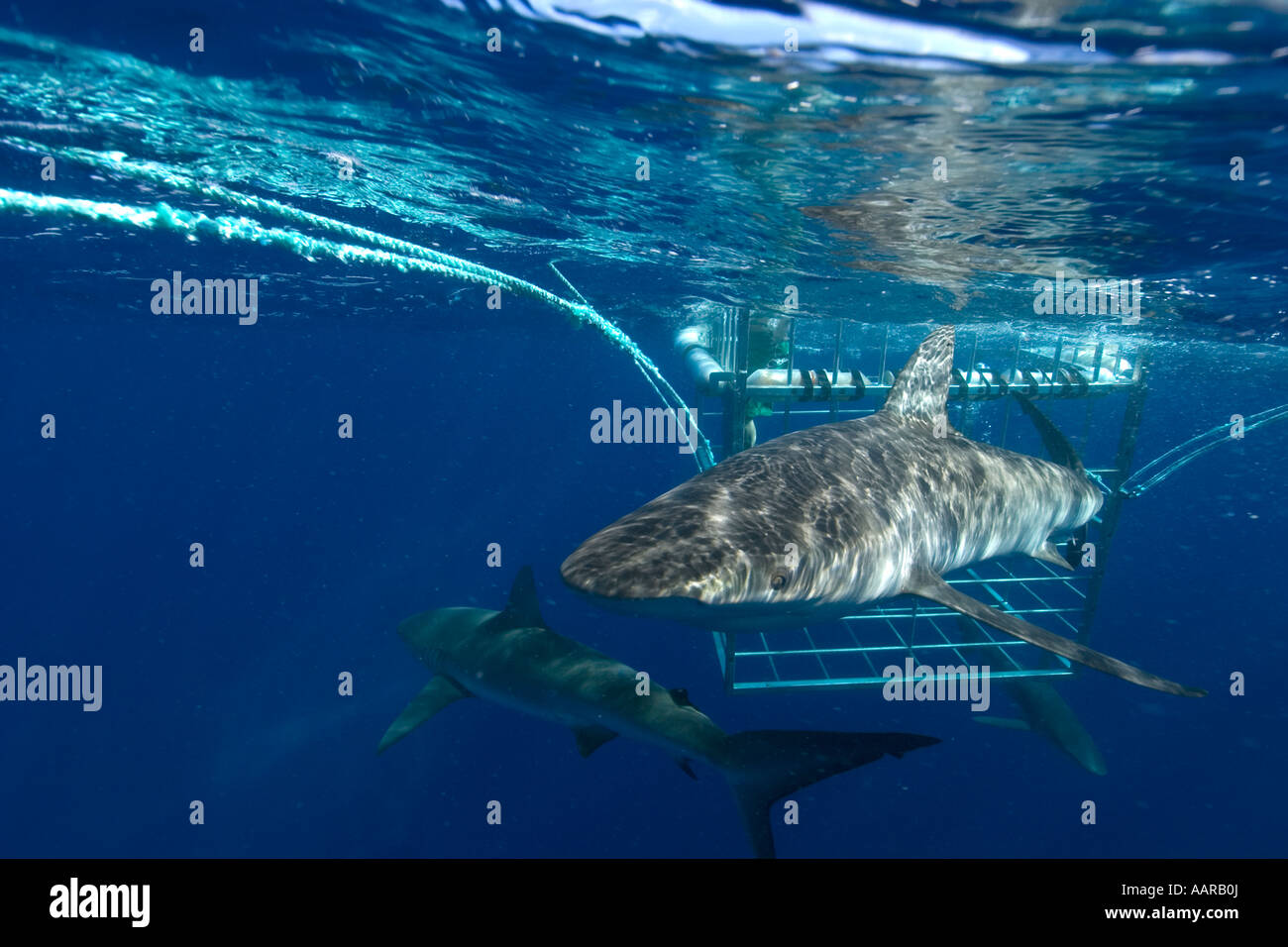 Thrill seekers experience cage diving with Galapagos sharks Carcharhinus galapagensis North shore Oahu Hawaii USA Stock Photo