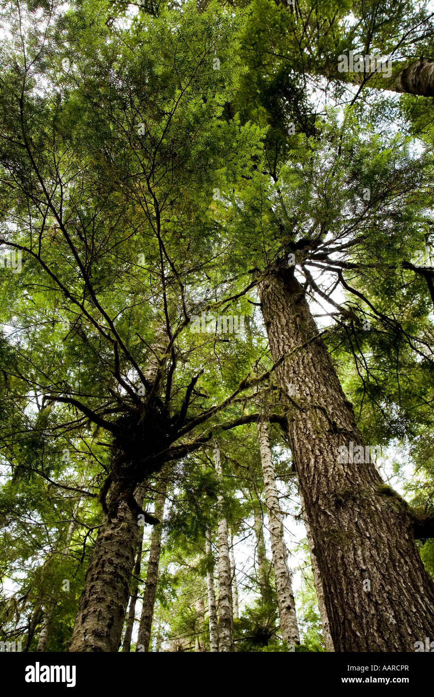 'Witches Broom' or 'Dwarf Mistletoe' Arceuthobium tsugense on Western Hemlock tree coastal rainforest - Stock Image