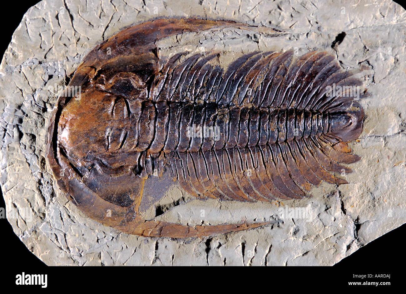 Trilobite Fossil Acadoparadoxides briareus Middle Cambrian Moroccan Sahara - Stock Image