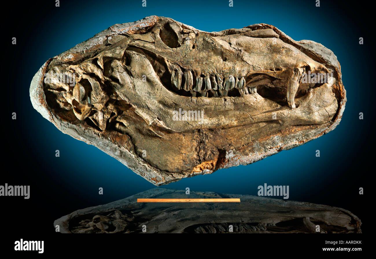 Gigantocamelus Upper Pliocene Lower Pliocene Garden Co Nebraska fossil w 12 inch ruler for scale - Stock Image