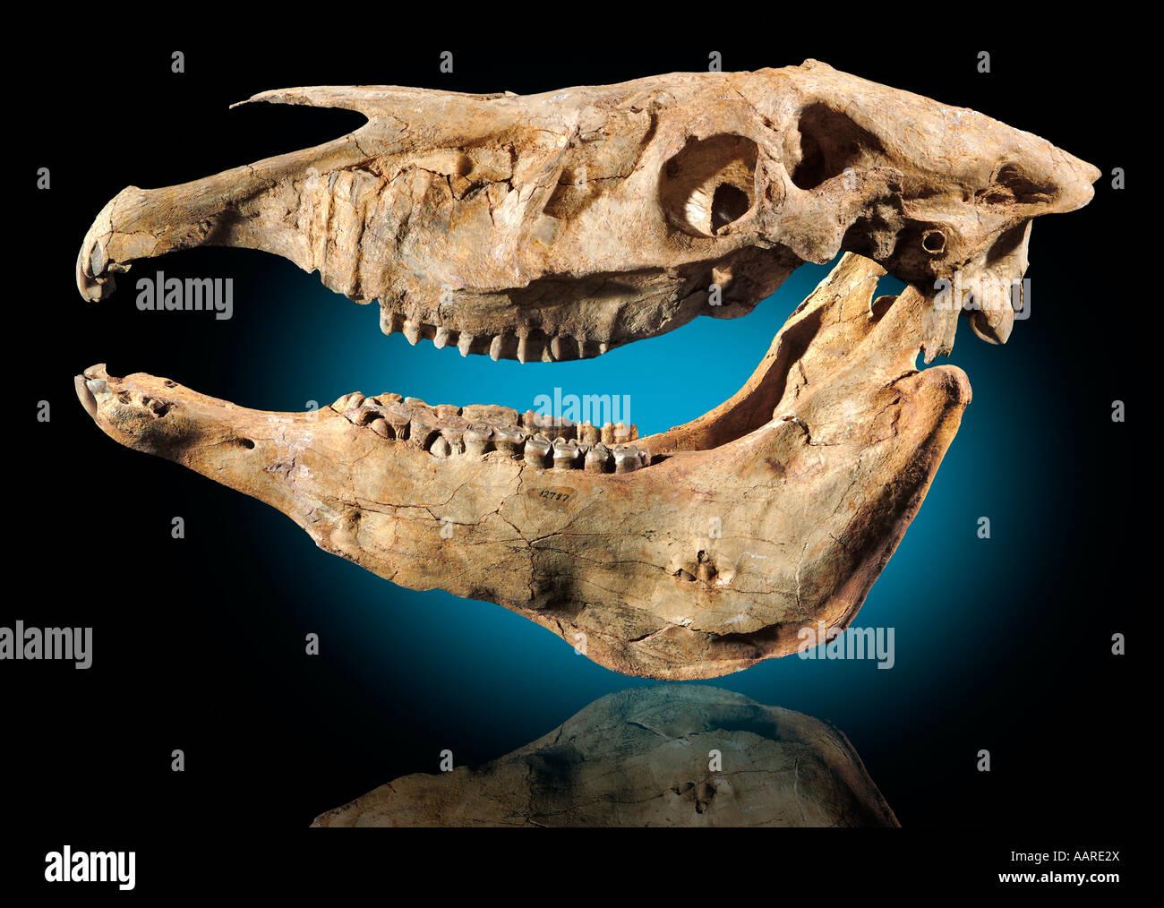 Plesippus shoshoensis Fossil Horse Head Pliocene Hagerman Lake Idaho - Stock Image