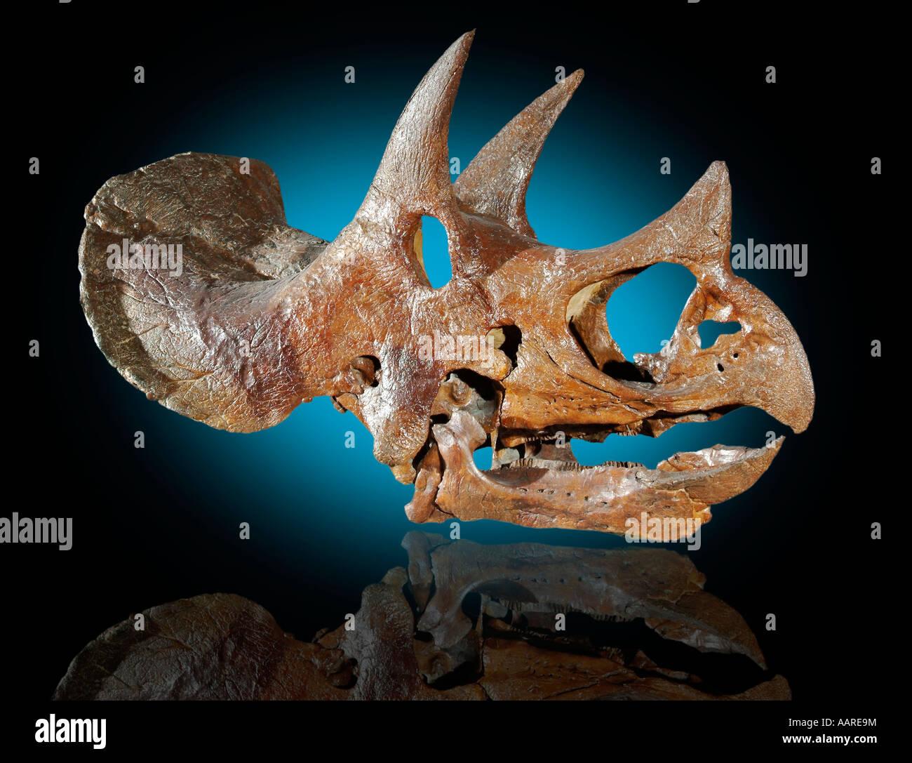 Triceratops horridus Skull - Stock Image