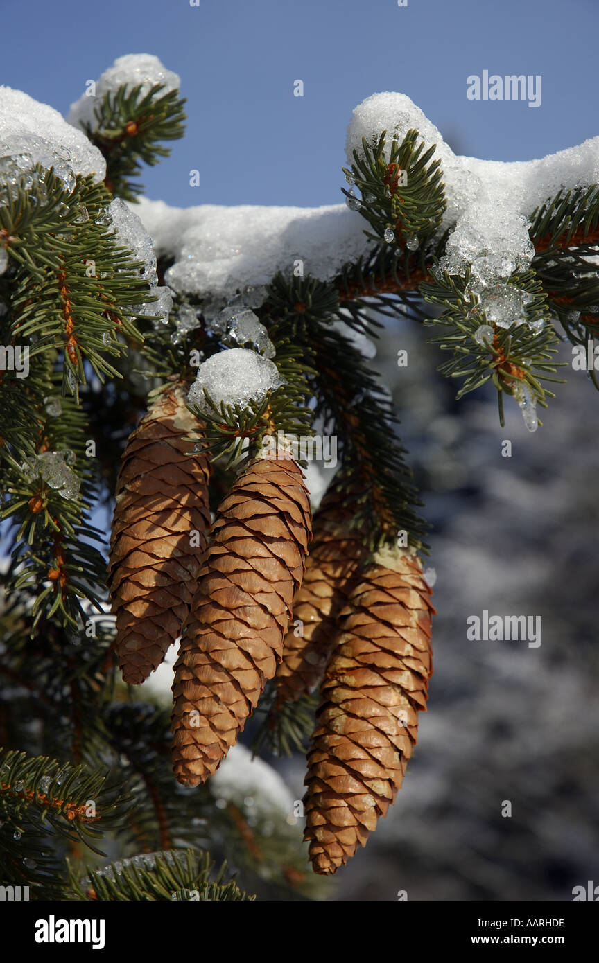 Pine / fir tree cones hanging from a snow-covered fir tree branch in winter Stock Photo