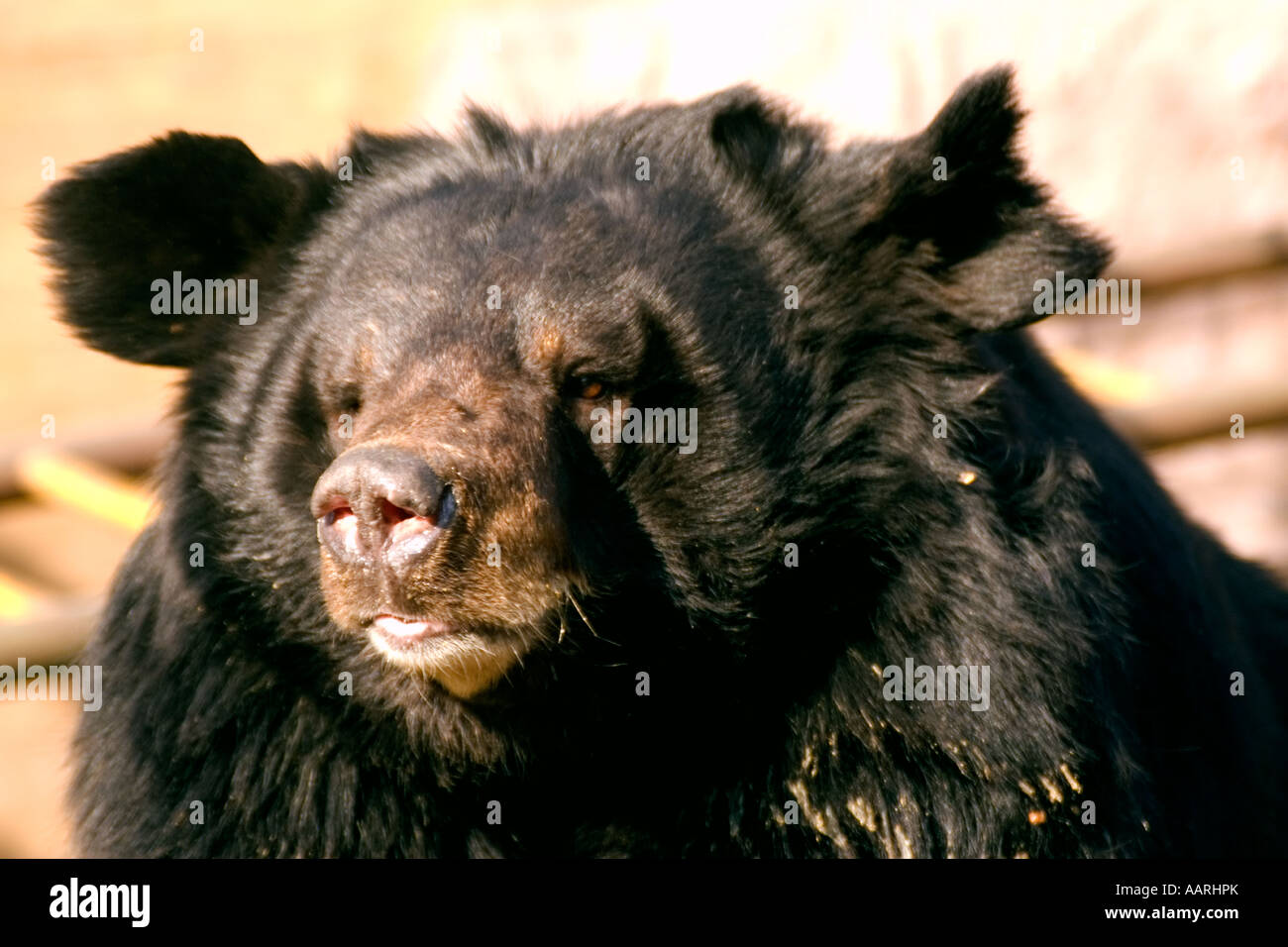 Asiatic black bear Selenarctos thibetanus in a zoo near Badaling China - Stock Image