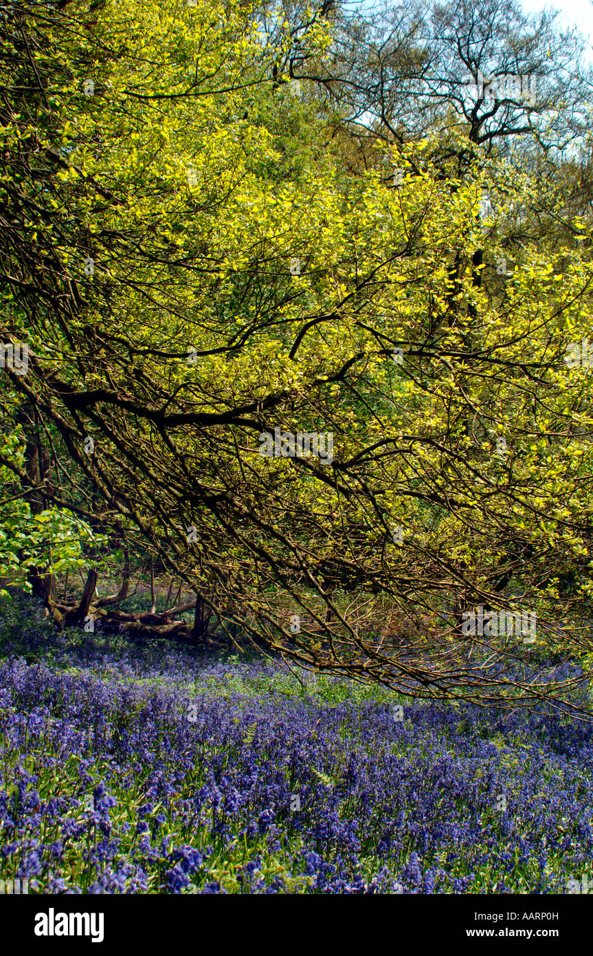 Bluebell Woods & Meadow,In Staffordshire England. - Stock Image