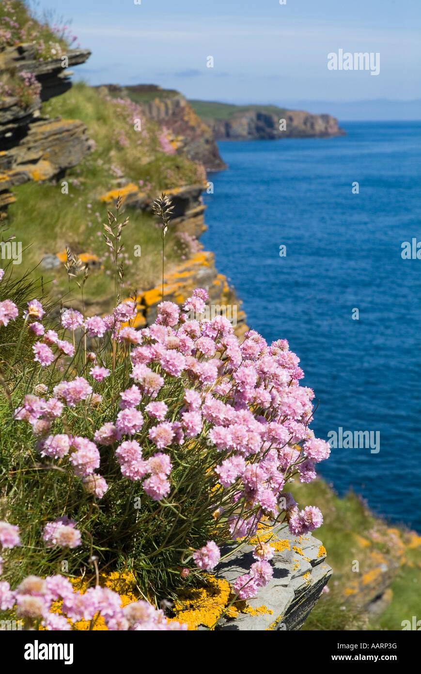 dh Armeria Maritima THRIFT CAITHNESS Sea pinks Thrift Armeria Maritima on Caithness seacliff North Sea coast - Stock Image