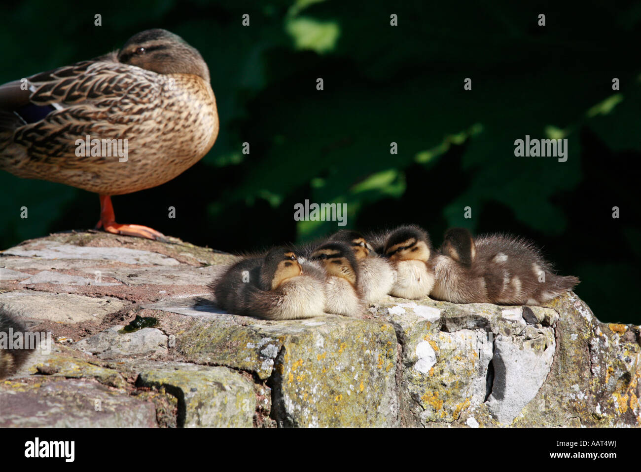 Nap time for baby Mallard ducklings with mother keeping an eye - Stock Image