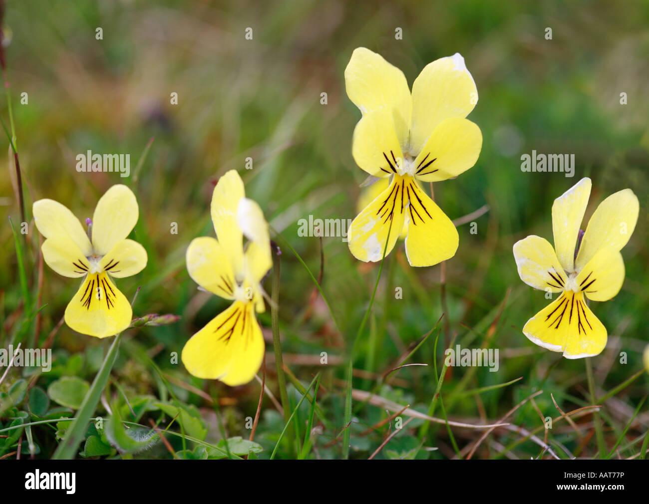 Four Mountain Pansy Viola lutea flowers - Stock Image
