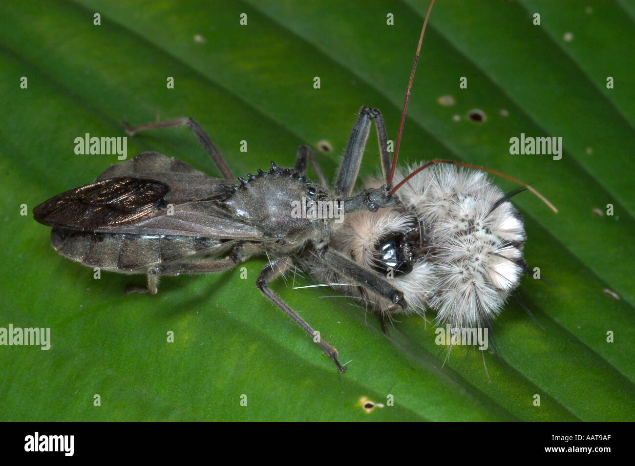 Wheel bug eating wooly bear caterpillar Arilus cristatus Predaceous bug in the assassin bug Reduviidae family - Stock Image