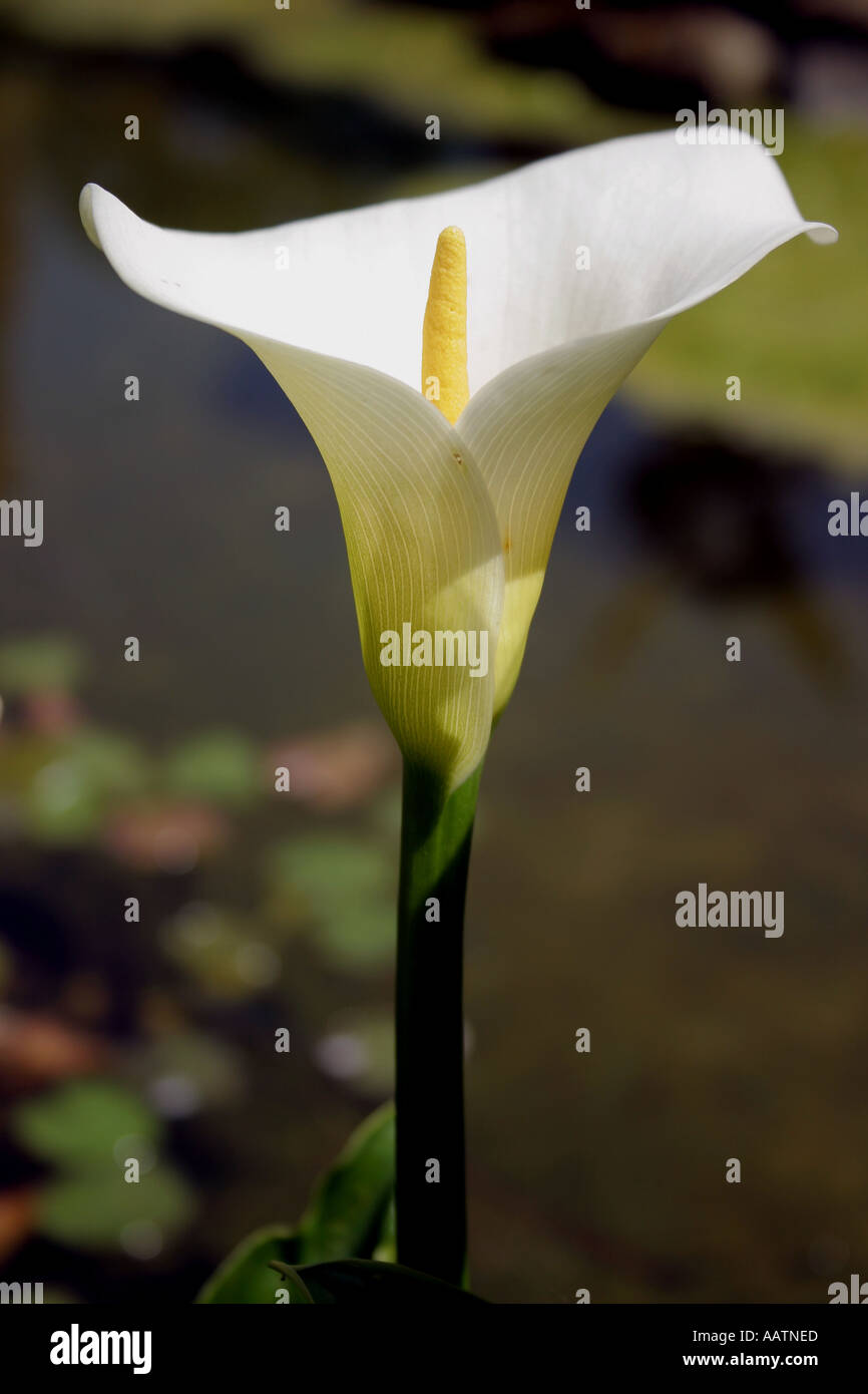 Close Up Shot Of A Single Calla Lilly Flower Growing Beside An Stock