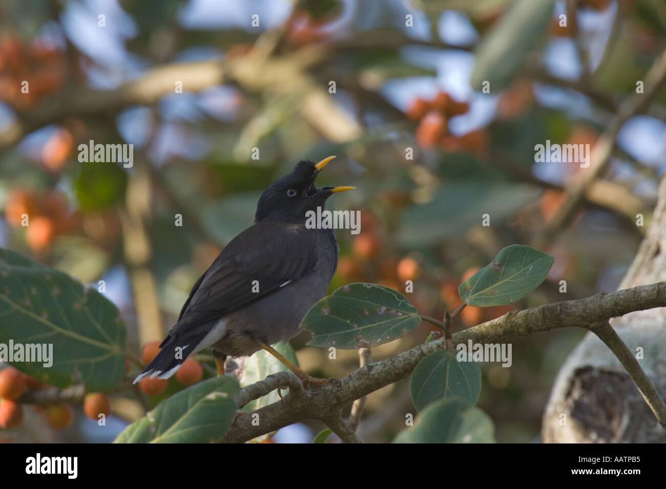 Jungle Myna singing, Goa, India - Stock Image