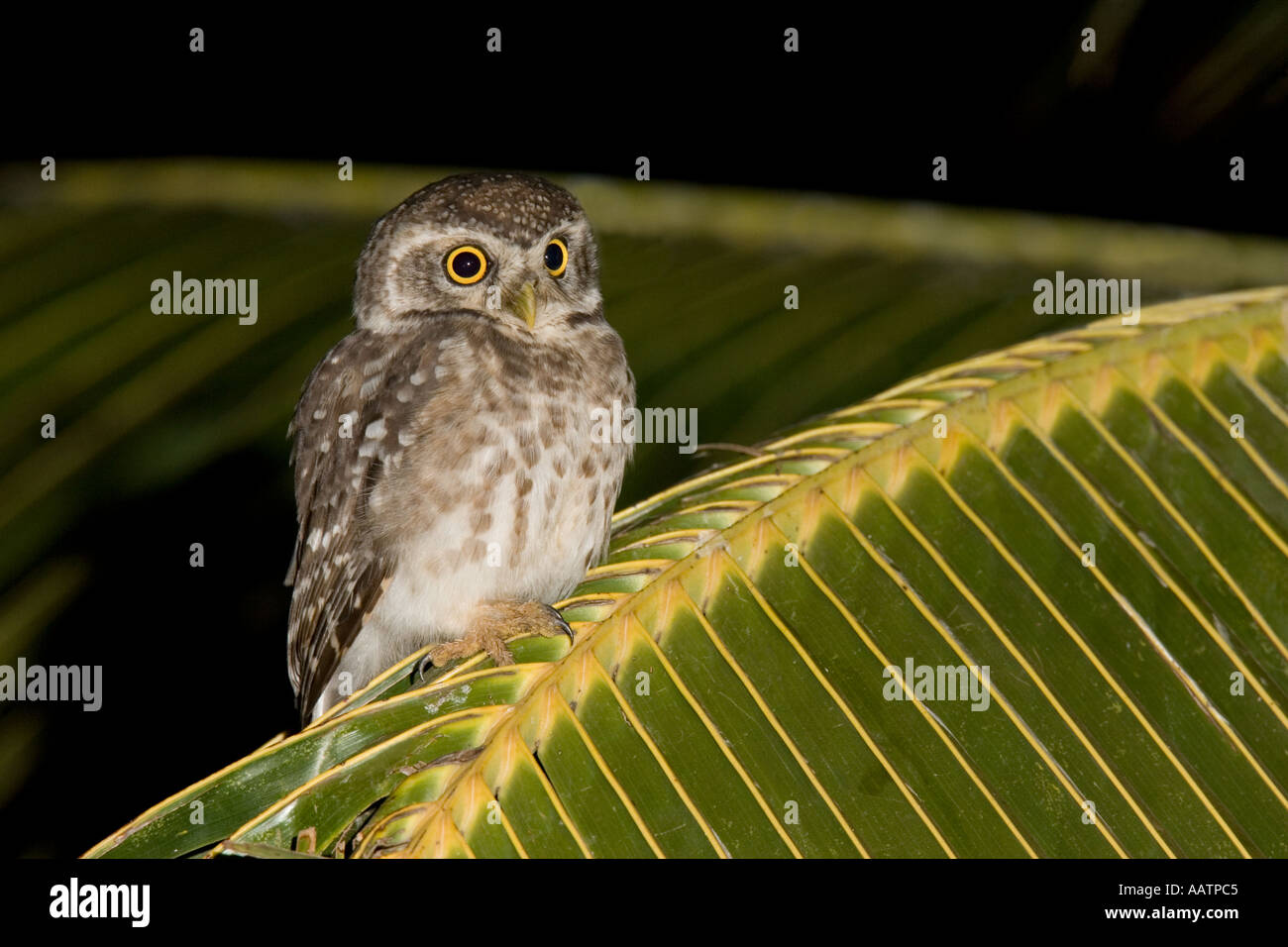 Spotted Owlet on palm frond Baga Fields Goa India - Stock Image