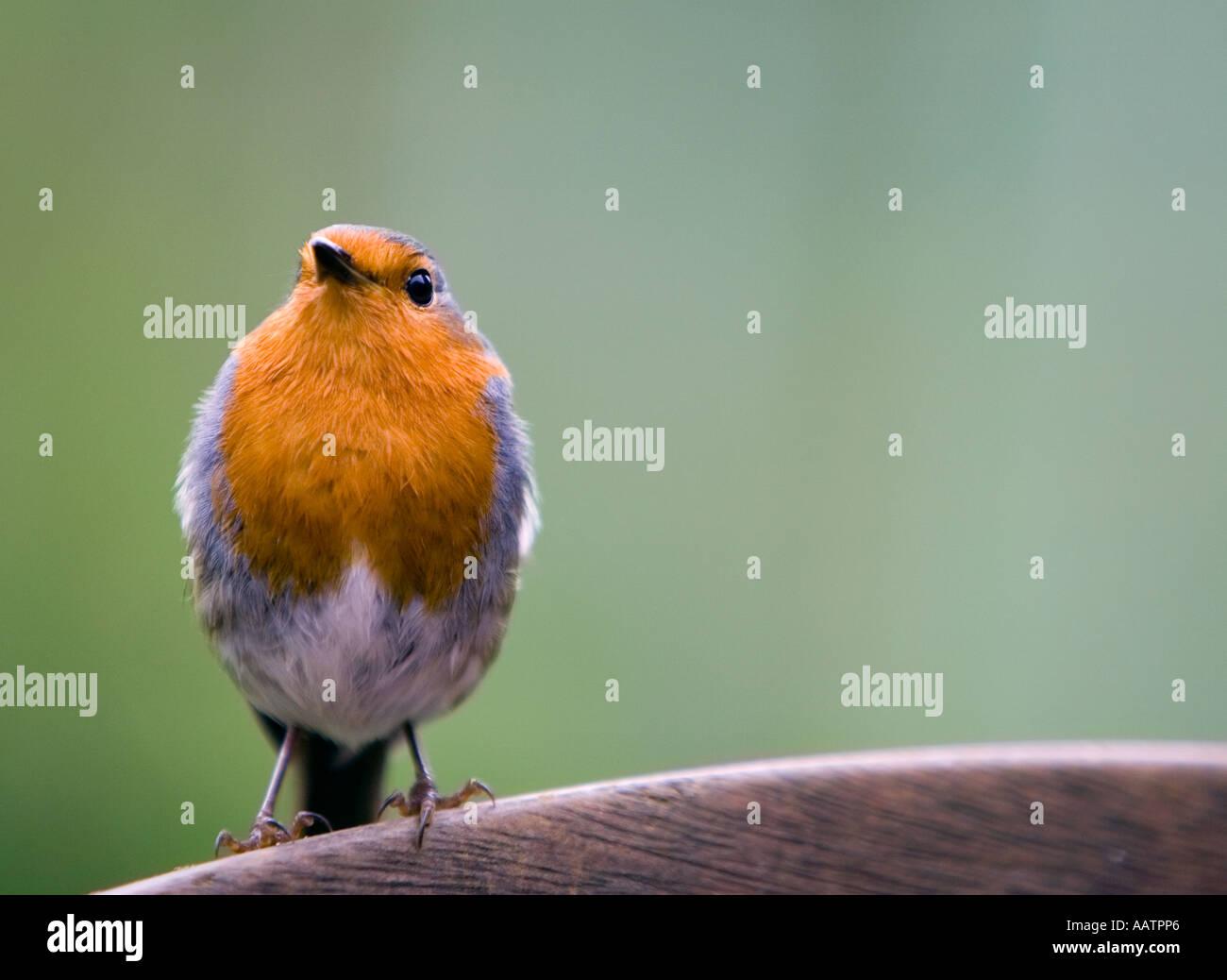 Erithacus rubecula. Robin standing on garden bench - Stock Image