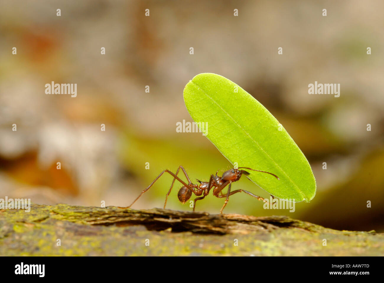 LEAF-CUTTER ANT with leaf Atta sp. Amazonian Rainforest ...