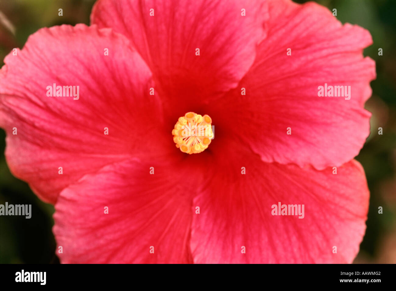 Close Up Of The Stamens And Pistil On A Hibiscus Flower In South