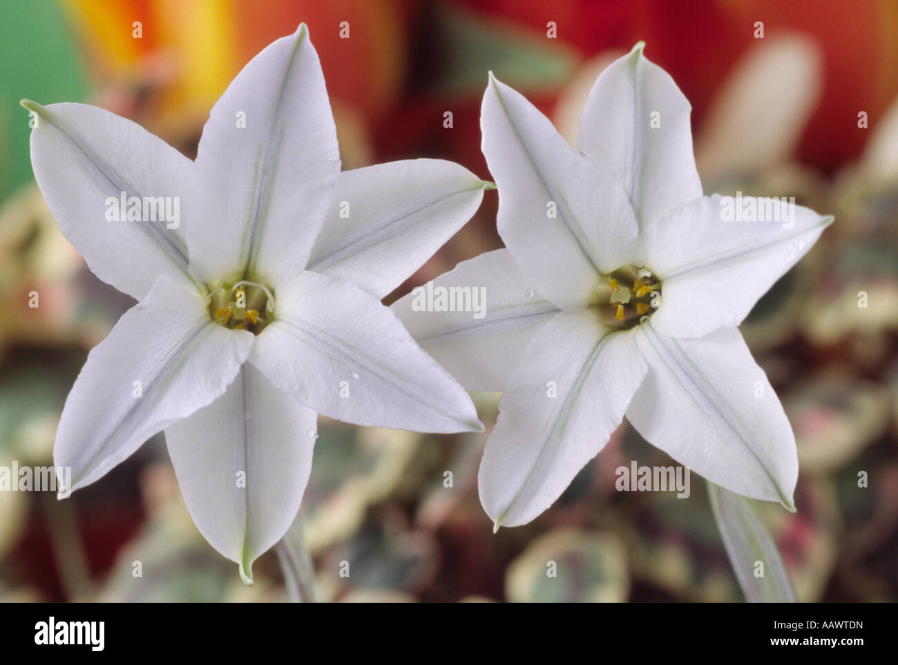 Ipheion uniflorum white star close up of two white star shaped ipheion uniflorum white star close up of two white star shaped flowers mightylinksfo