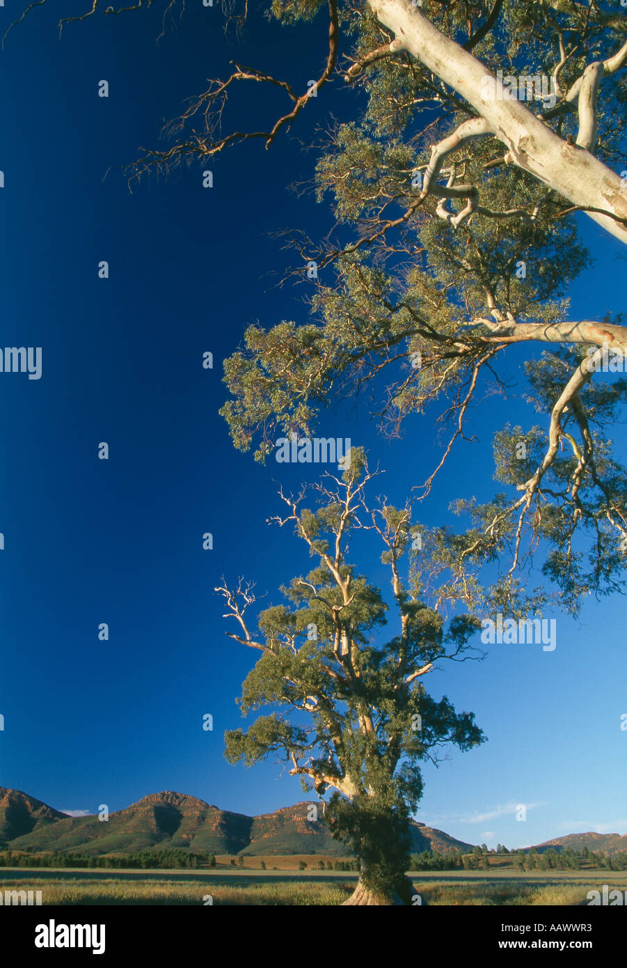 River Red Gum trees nr Wilpena Flinders Ranges National Park South Australia - Stock Image