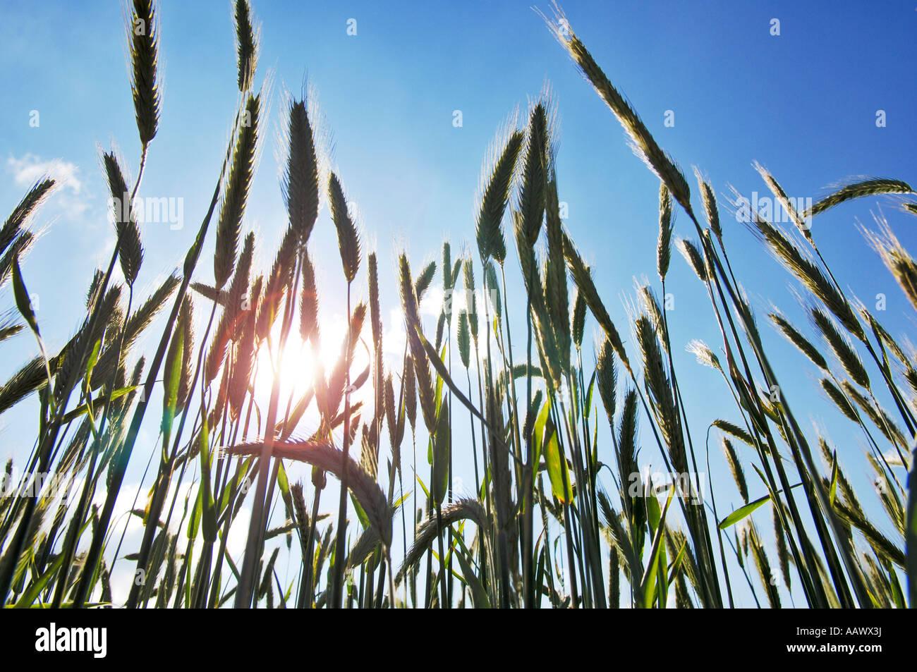 Grain ears - Stock Image