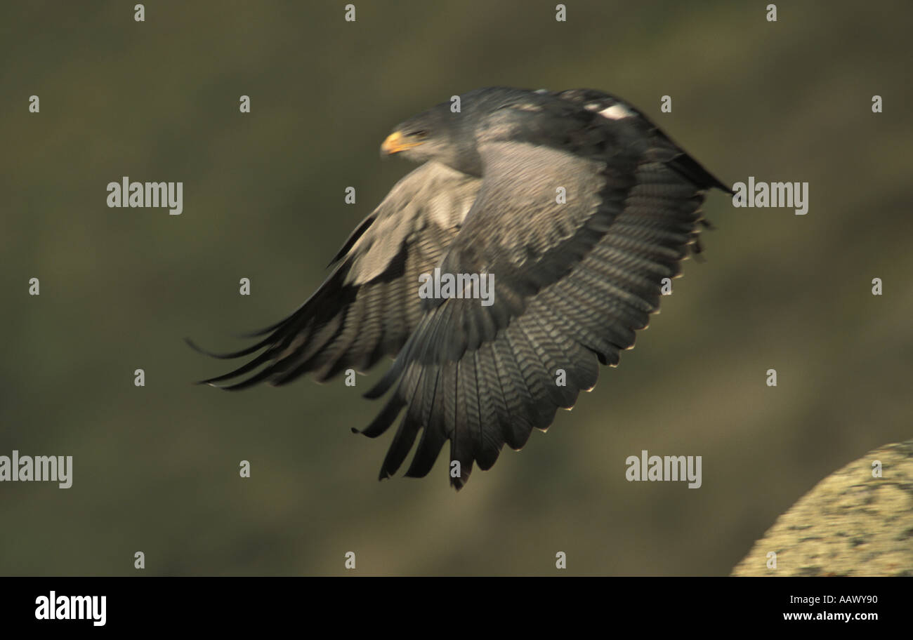 Black chested buzzard eagle in flight Torres del paine national park Chile - Stock Image