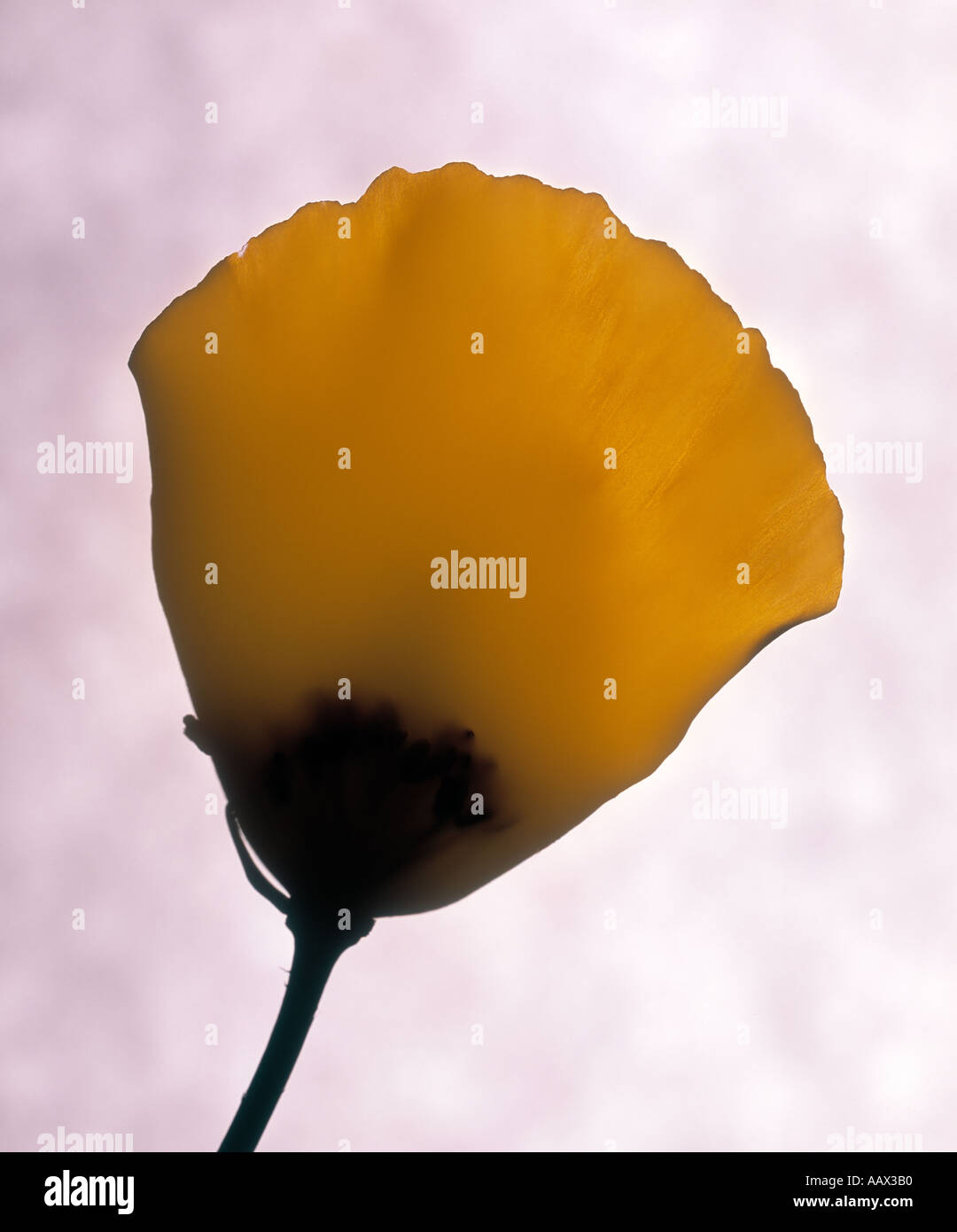 photogram of poppy petal - Stock Image