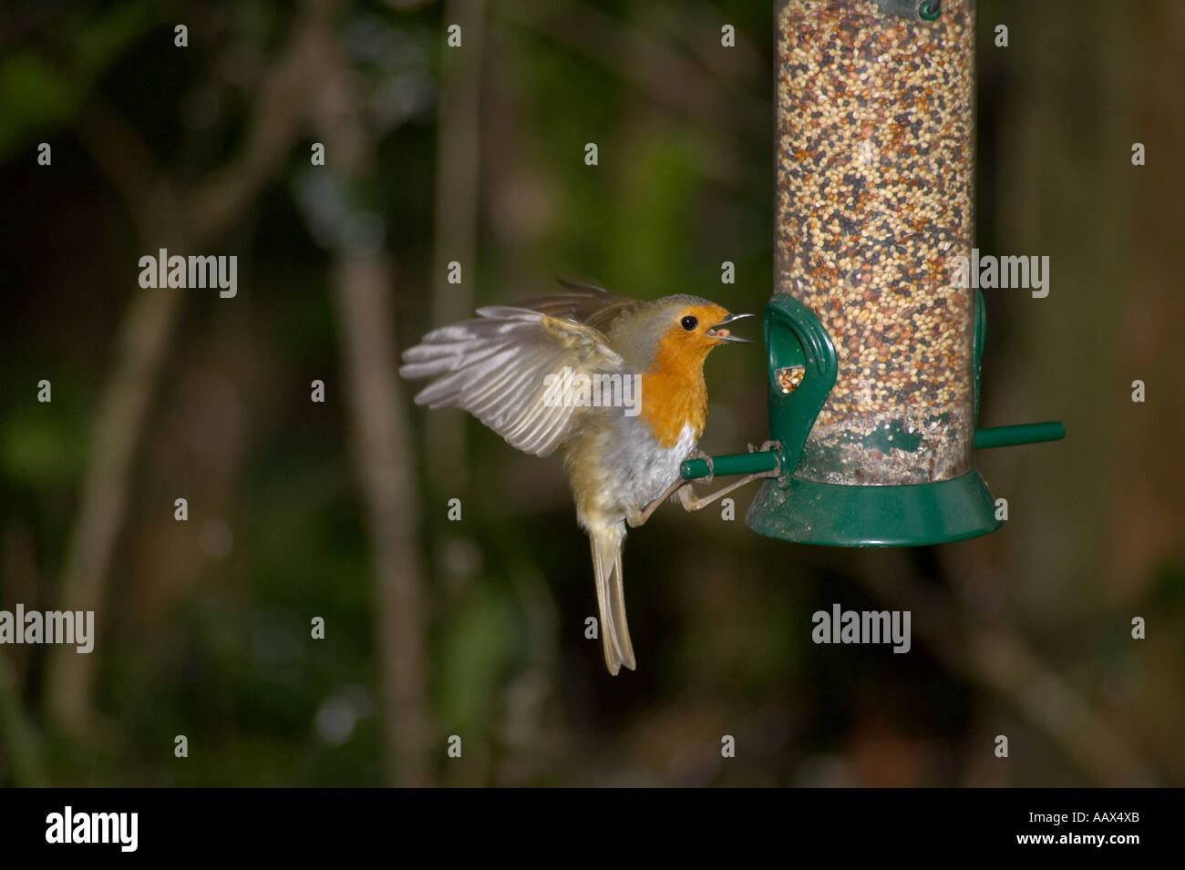 Robin Redbreast with wings outstretched taking seed from garden bird ...
