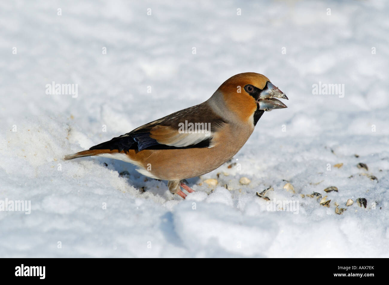 Kernbeißer Coccothraustes coccothraustes Hawfinch - Stock Image