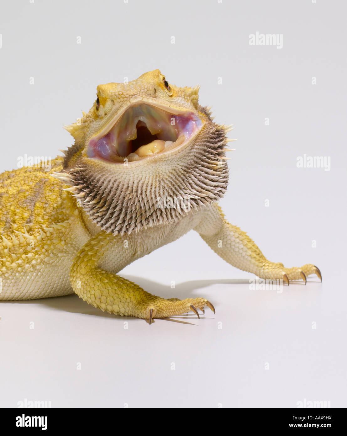 bearded dragon - Stock Image