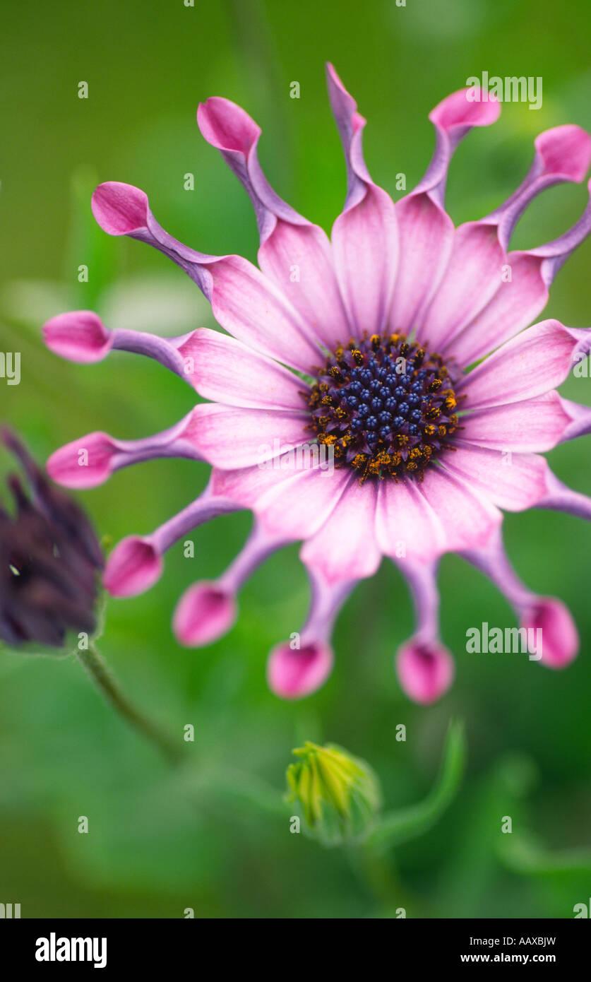 Portrait photograph of Pink flowers Serenity Osteospermum Pink P Compositae Asteraceae A Scotland UK - Stock Image