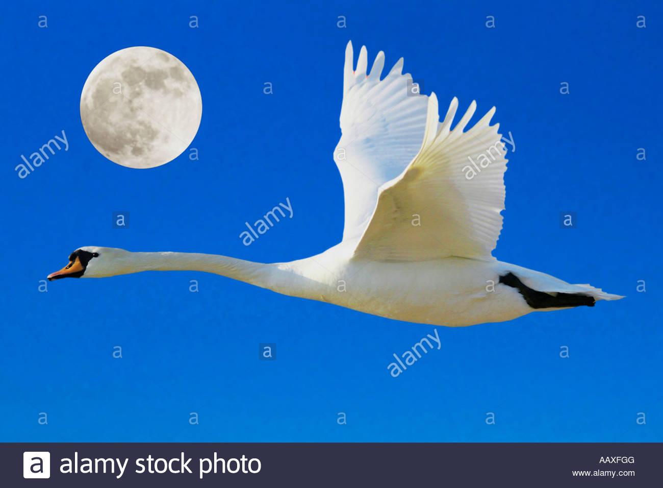 Hoeckerschwan Cygnus olor vor Vollmond mute swan Cygnus olor full moon Composing - Stock Image