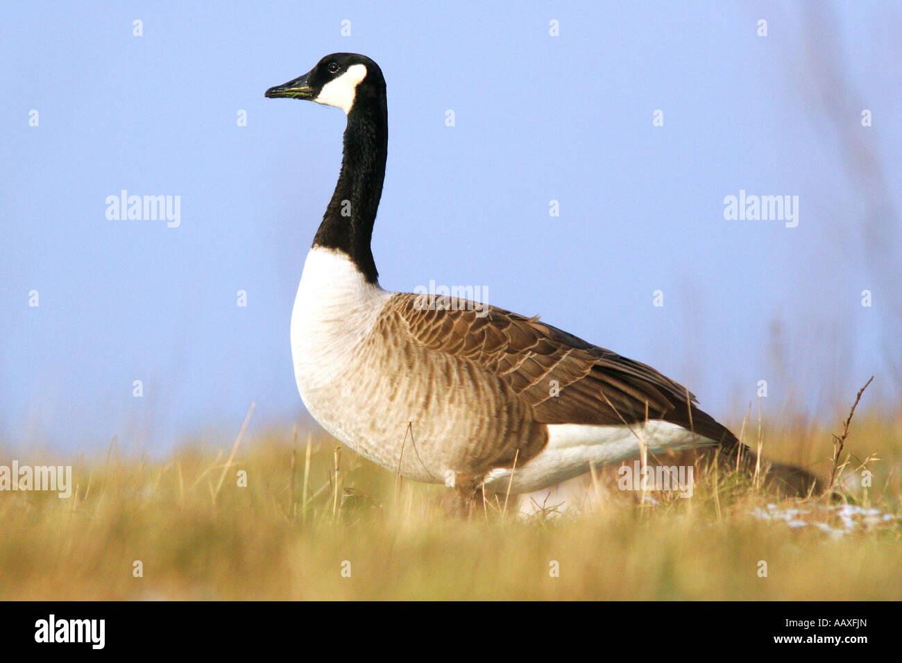 Tiere Voegel Gaensevoegel Kanadagans Canada Goose Branta canadensis - Stock Image