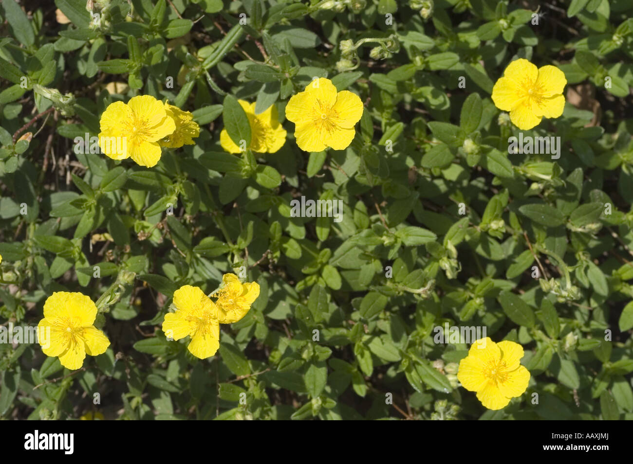 Yellow spring flowers of common rockrose or sun rose cistaceae yellow spring flowers of common rockrose or sun rose cistaceae helianthemum nummularium ssp grandiflorum europe mightylinksfo