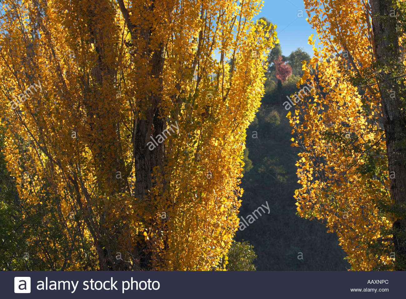 The golden colours of poplars in autumn at Brindabella Station in the High Country of New South Wales Australia - Stock Image