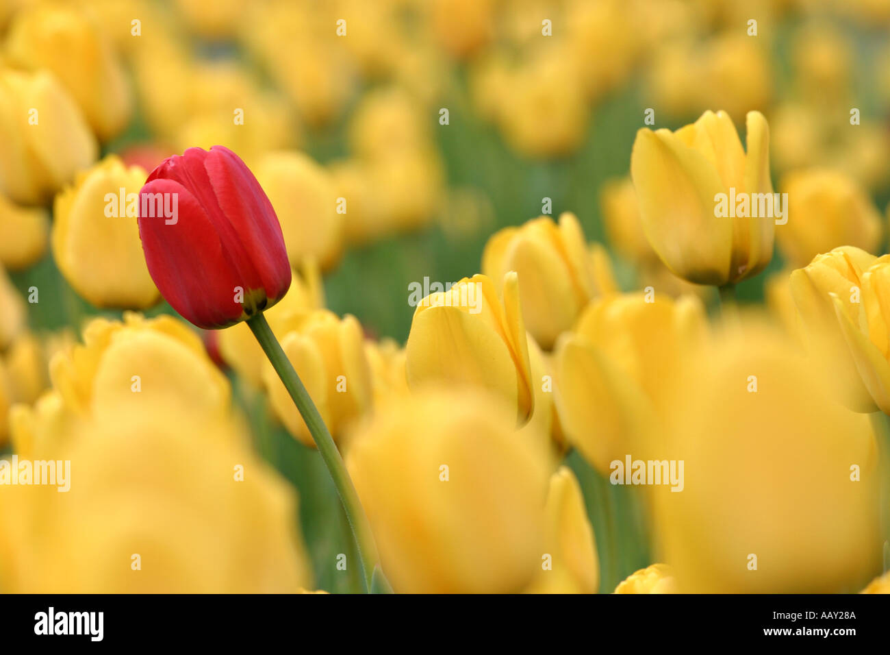 Against the tide a lone red tulip stands above a sea of yellow ones all bent in the wind - Stock Image