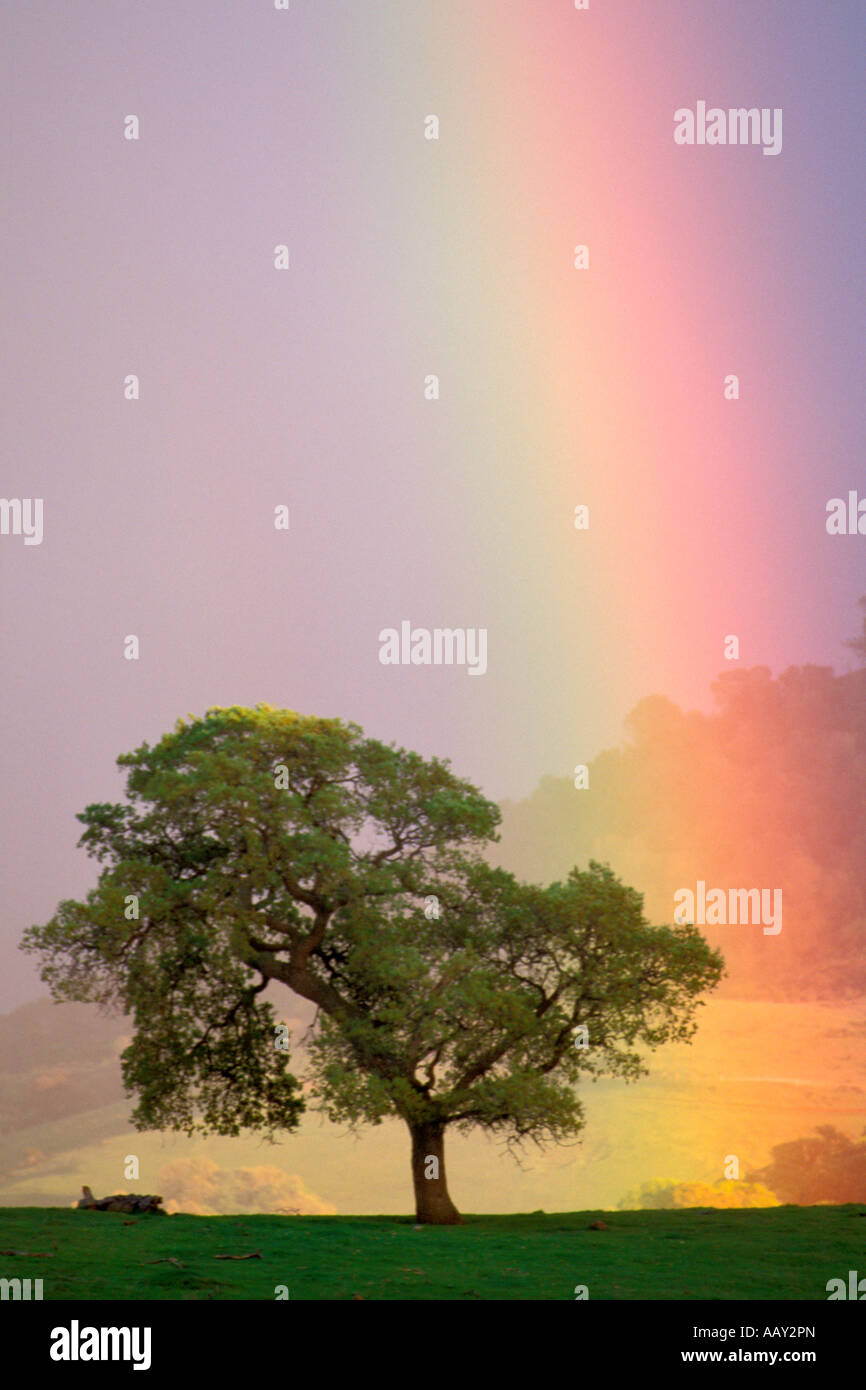 Rainbow and oak tree vertical - Stock Image