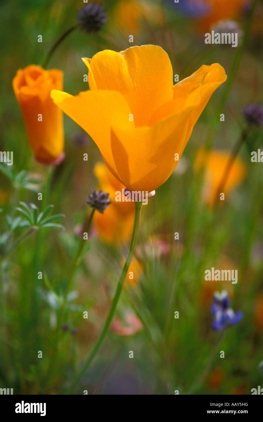 California Golden Poppy State Flower Stock Photos California
