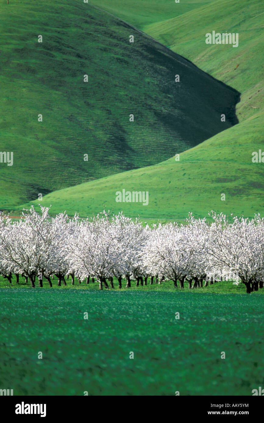 Blossoming fruit trees in bloom California Central Valley
