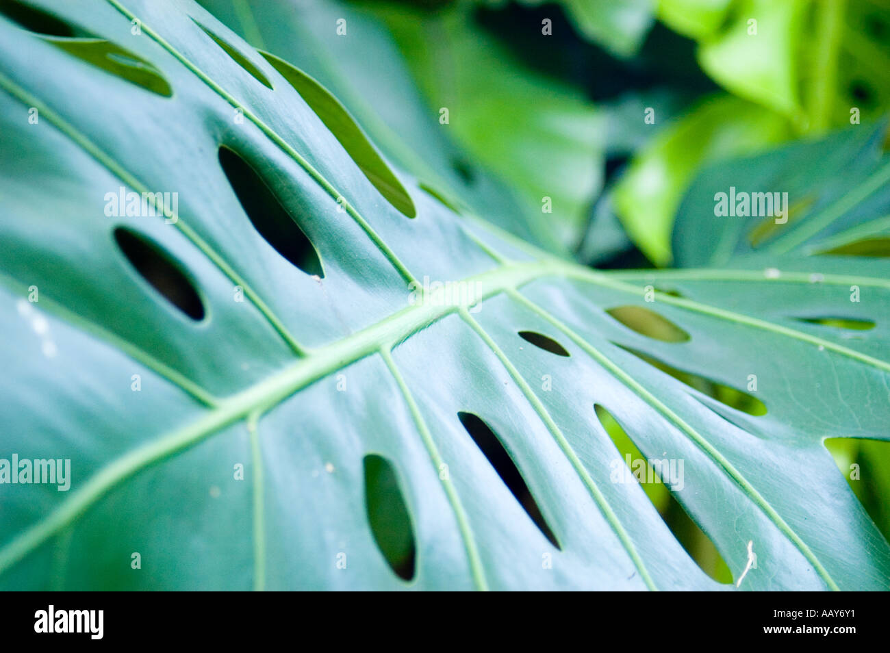 Cheese plant leaf Stock Photo