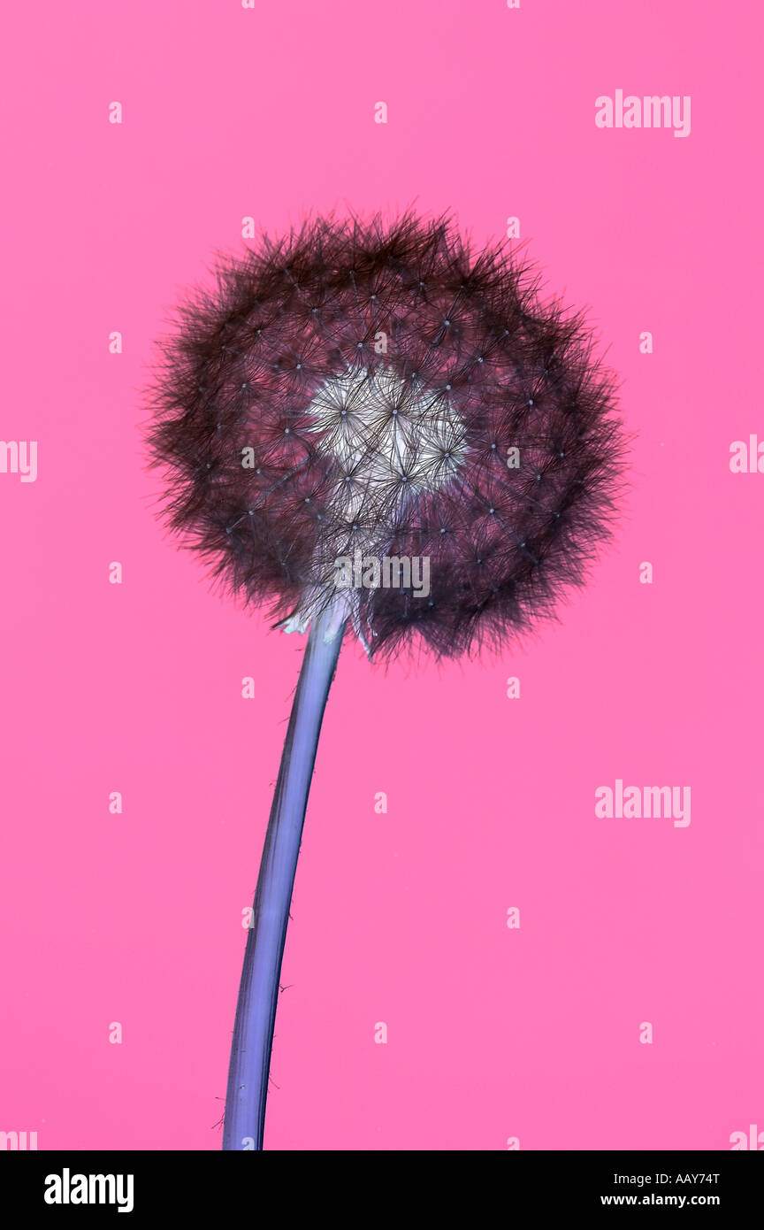 Vibrant image of a dandelion head in negative - Stock Image