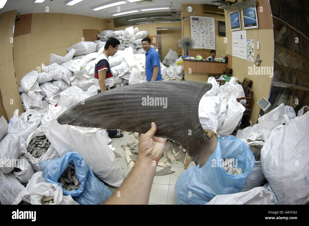 shark fin wholesaler warehouse shark finning is one of the world s most destructive fisheries processed shark fins for sale as Stock Photo