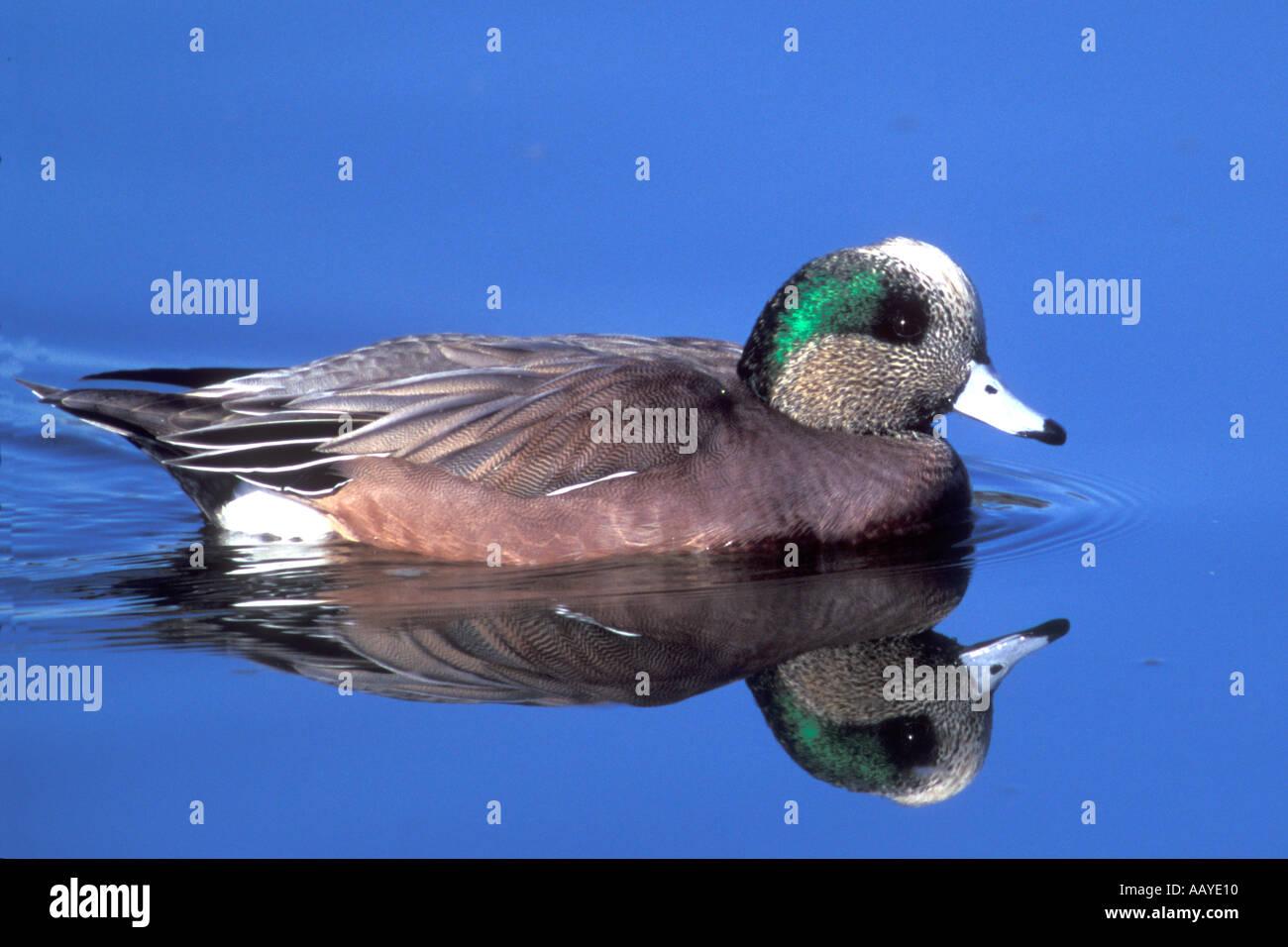 american wigeon ducj male anas americana back bay reserve california