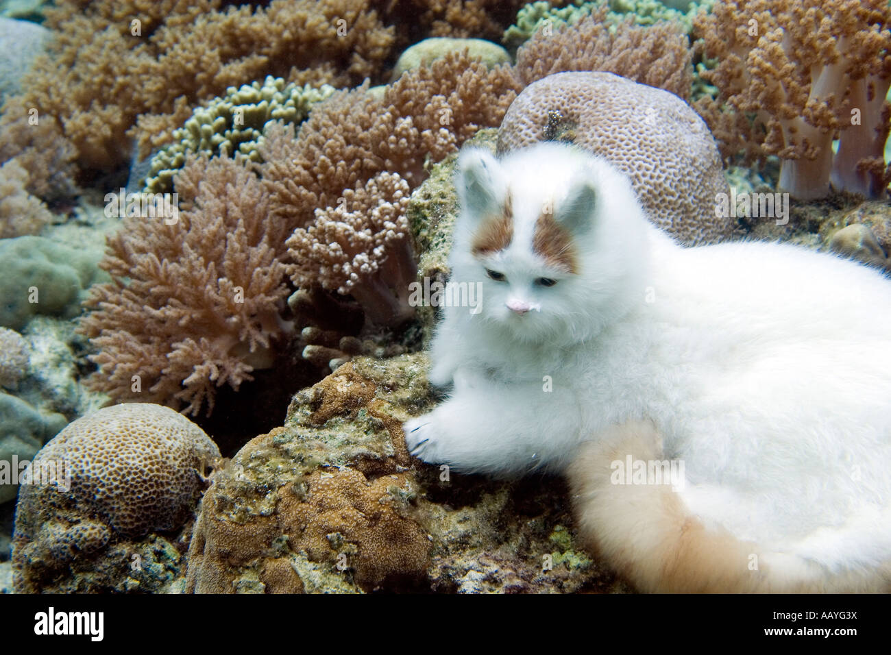 Cat underwater sitting on a coral reef - Stock Image