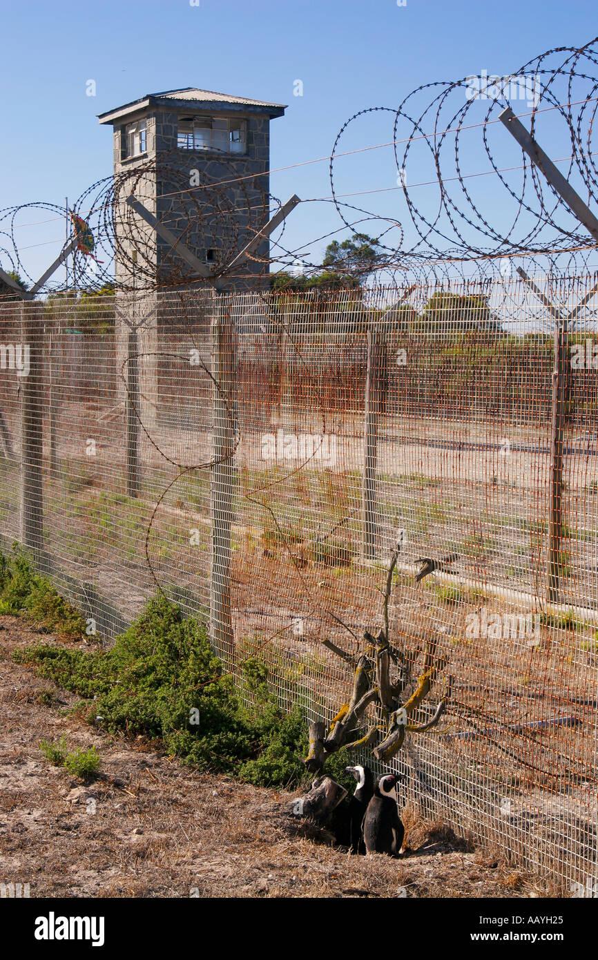 south africa Robben Island prison island of Nelson Mandela during apartheid Jackass pinguine - Stock Image