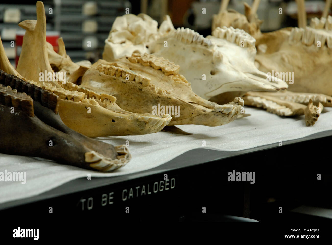 Modern and fossil skulls for comparison in research lab, Page Museum, Rancho La Brea - Stock Image
