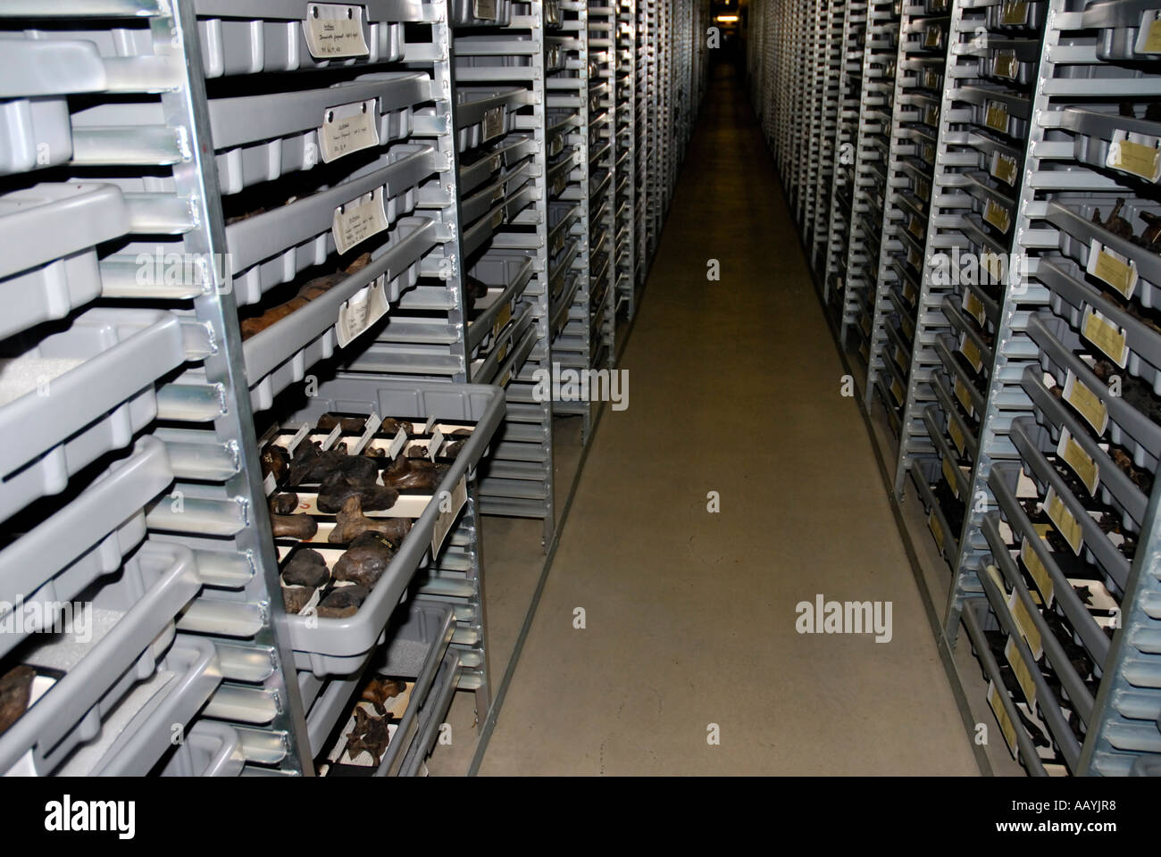 Preserved Mammal Bones From La Brea Tar Pit Excavations In Storage, Page  Museum, Los Angeles