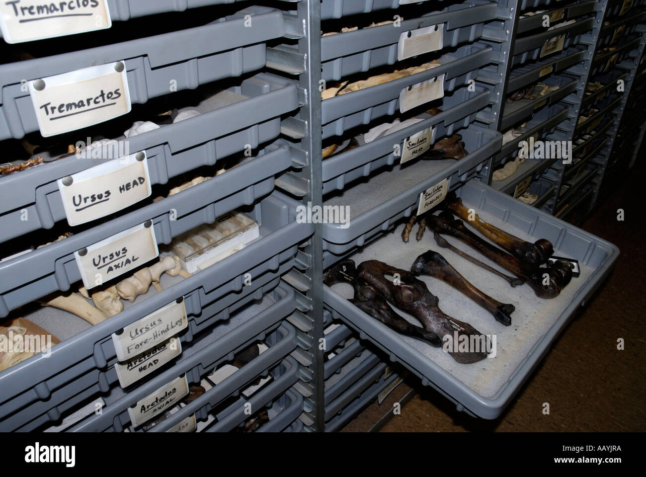 Preserved Mammal Bones From La Brea Tar Pit Excavations In Storage,  Research Lab, Page