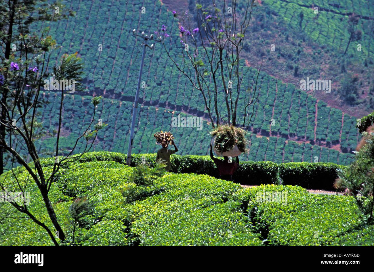 Tea Planation, Munnar, Kerala. - Stock Image